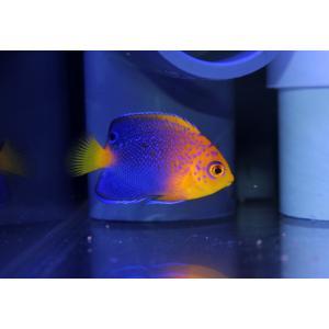 (個体販売)レンテンヤッコ幼魚|aquatailors