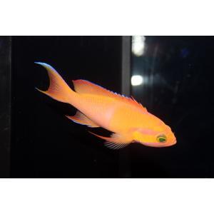 海水魚/バリ産P.mica マイカズアンティアス(No.02)(個体販売)|aquatailors