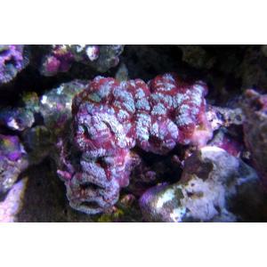 カクオオトゲキクメイシ レッド×ブルー(No.06)|aquatailors