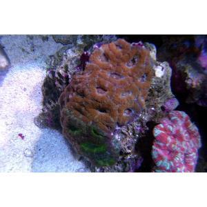 カクオオトゲキクメイシ オレンジ×グリーン(No.09)|aquatailors
