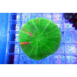 オーストラリア産スコリミアSp.(No.03)|aquatailors