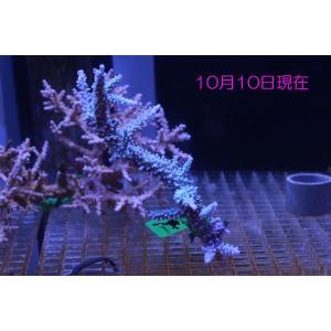 (Coral de Sakieda G&G)Acropora intermedia(シリアルNo.00167)