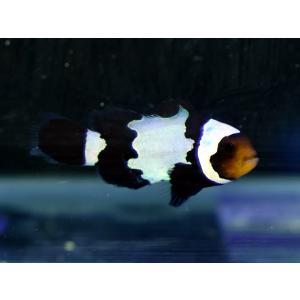 国産ブリード ブラックアイスオセラリス No.02|aquatailors