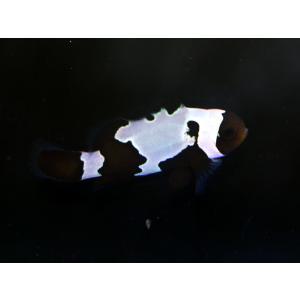 国産ブリード ブラックアイスオセラリス No.06|aquatailors