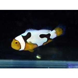 海外産ブリード ブラックピカソクラウンNo.08(個体販売|aquatailors