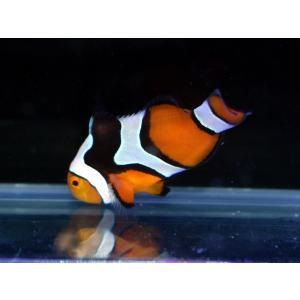 海外産ブリード ブラックピカソクラウンNo.09(個体販売)|aquatailors