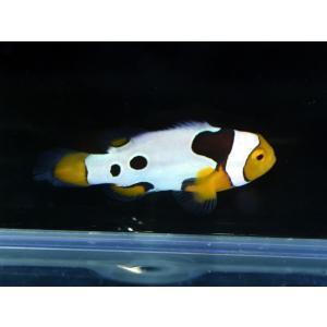 海外産ブリード ブラックピカソクラウンNo.10(個体販売)|aquatailors