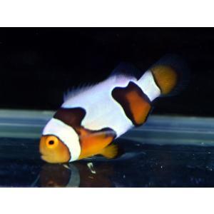 海外産ブリード ブラックピカソクラウンNo.11(個体販売)|aquatailors
