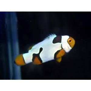 海外産ブリード ブラックピカソクラウンNo.12(個体販売)|aquatailors