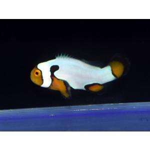 海外産ブリード ブラックピカソクラウンNo.14(個体販売)|aquatailors