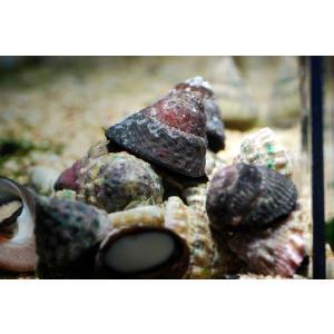 (コケ取り)シッタカ貝 5匹セット|aquatailors