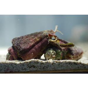 (コケ取り)マガキ貝 5個セット|aquatailors