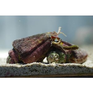 (コケ取り)マガキ貝 10個セット|aquatailors