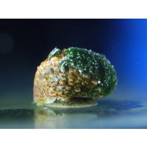 (コケ取り)スーパーシッタカガイ 1匹|aquatailors