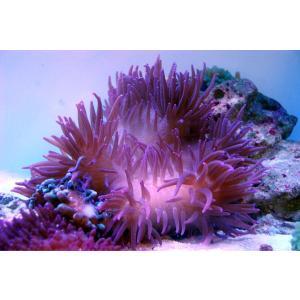 シライトイソギンチャク パープル 1個 aquatailors