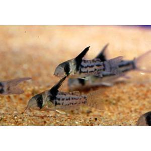 国内ブリード コリドラス・コルレア(パラレルス) Sサイズ 1匹|aquatailors