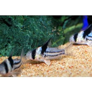 国内ブリード コリドラス・コルレア(パラレルス) SMサイズ 1匹|aquatailors