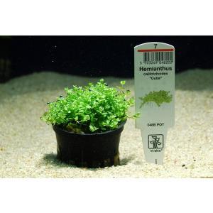 トロピカ社 キューバパールグラス 1POT|aquatailors