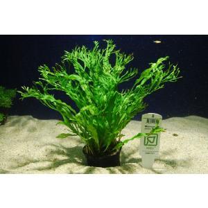 トロピカ社 ミクロソリウム ウェンディロフ 1POT|aquatailors