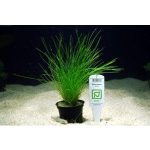 トロピカ社 ショートヘアーグラス 1POT|aquatailors