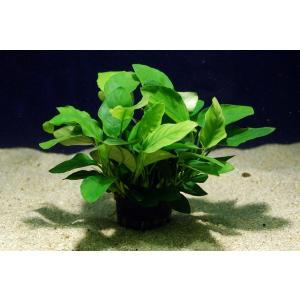 アヌビアス ナナ 1POT|aquatailors
