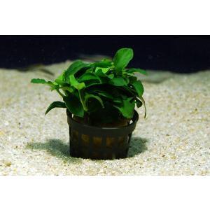 アヌビアス ナナ・プチ 1POT|aquatailors