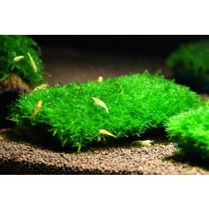 国産 南米ウィローモス マット 1個|aquatailors