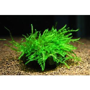 ウィローモス付きレイアウト石 Sサイズ 1個|aquatailors