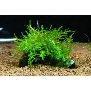 ウィローモス付きレイアウト石 Mサイズ 1個|aquatailors