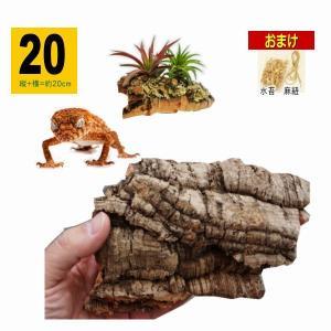 *20サイズ:縦+横=約20cm   *天然コルク樫樹皮  ■おまけとして「エアプランツの養生」体験...