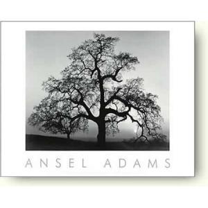 アンセル・アダムス 樫の木, サンセット・シティ, カリフォルニア州, 1932年 【フォトポスター】|artposters