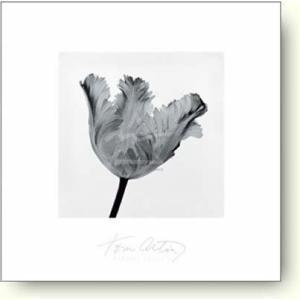 トム・アーティン Parrot Tulip I 【フォトポスター】|artposters
