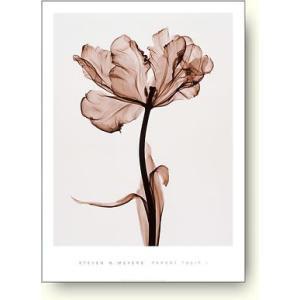スティーブン・マイヤーズ(Steven Meyers) パーロット・チューリップ I(Parrot Tulip I) 【フォトポスター】|artposters
