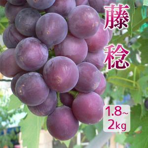 藤稔 1.8〜2kg(2〜3房)訳あり わけあり ふぞろい 種無し ぶどう 送料無料|arumama