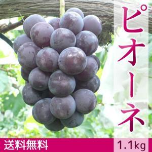 ぶどう ピオーネ 送料無料 ギフト 1.1kg|arumama