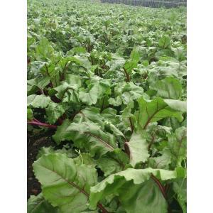 有機栽培 ビーツ 2kg 熊本県産 野菜 栄養 予約販売|asagiri-nouen|03