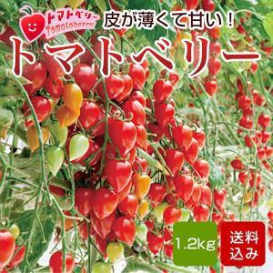 トマトベリー フルーツトマト 1.5kg 熊本産 内祝 出産...