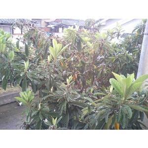 びわの葉500g 滋賀産 無農薬 ペットのエサ うさぎ 枇杷の葉 温熱療法 ビワ健康法 漢方 ポイント消化