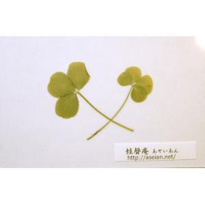 あせいあん 三つ葉と四つ葉のクローバーの押し花 aseian-3-4-2016-0001B|aseian-store