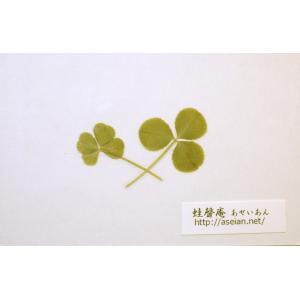 あせいあん 三つ葉と四つ葉のクローバーの押し花 aseian-3-4-2016-0003|aseian-store