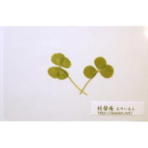 あせいあん 三つ葉と四つ葉のクローバーの押し花 aseian-3-4-2016-0005|aseian-store