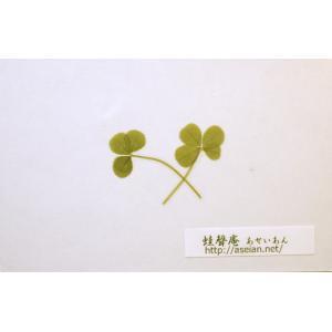 あせいあん 三つ葉と四つ葉のクローバーの押し花 aseian-3-4-2016-0006B|aseian-store