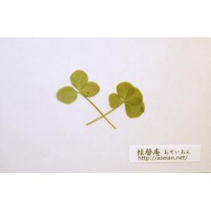 あせいあん 三つ葉と四つ葉のクローバーの押し花 aseian-3-4-2016-0007B|aseian-store