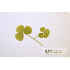あせいあん 三つ葉と四つ葉のクローバーの押し花 aseian-3-4-2016-0008B|aseian-store