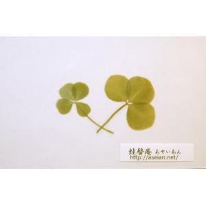 あせいあん 三つ葉と四つ葉のクローバーの押し花 aseian-3-4-2016-0020B|aseian-store