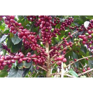 コーヒー豆 ブラジル ドルチェヴィータ100g atsumicoffee
