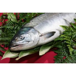 訳あり 北海道産(鮭)生 秋鮭 3.5キロ前後/定置物/鮮度急速冷凍|atumaru-suisan