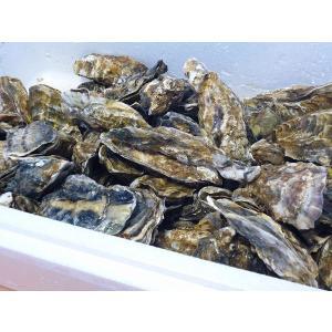 牡蠣14キロ(訳あり ハネモノ)厚岸西岸 仙鳳趾 生牡蠣(かき)(殻付き 生食)/牡蛎|atumaru-suisan