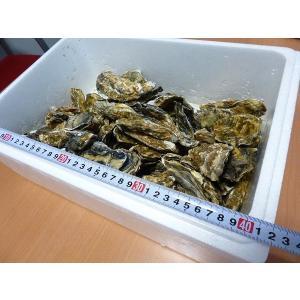 牡蠣14キロ(訳あり ハネモノ)厚岸西岸 仙鳳趾 生牡蠣(かき)(殻付き 生食)/牡蛎|atumaru-suisan|02