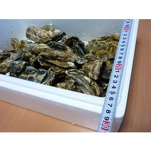 牡蠣14キロ(訳あり ハネモノ)厚岸西岸 仙鳳趾 生牡蠣(かき)(殻付き 生食)/牡蛎|atumaru-suisan|03